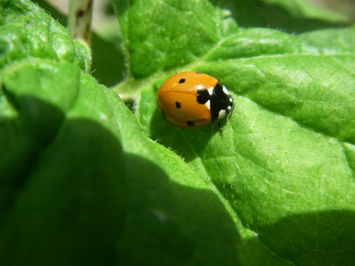 Coccinelle adulte - photo Beatrice Bouteloup