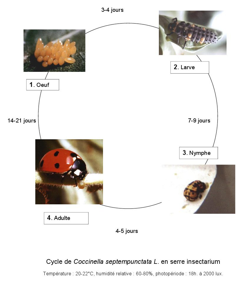 Cycle de vie de Coccinella septempunctata. Photos oeuf et larve : Yves Leclerc - Photo adulte : Lacherez - Photo nymphe coccinelle : Beatrice Bouteloup